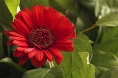 Flower and leaves. Stock Photography