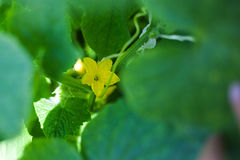Flower and leaves of cucumber Stock Photo