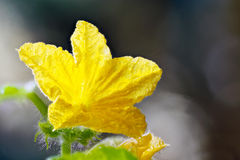 Flower and leaves of cucumber Stock Image