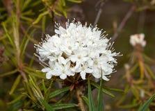 Flower ledum (Ledum) Royalty Free Stock Photography