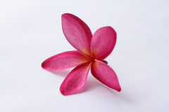 Flower Leelavadee Plumeria Royalty Free Stock Photos