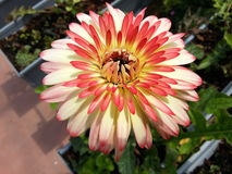 #Flower royalty free stock image
