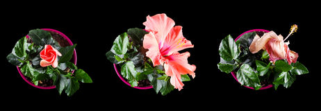 Flower life time stages concept to human life periods Stock Photos