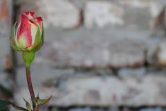 Beautiful rose on a brick wall. Flower on a light background, beautiful rose on a brick wall royalty free stock photo