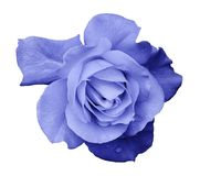 Flower light blue rose on a white isolated background with clipping path. no shadows. Closeup. For design, texture, borders, fra. Me, background. Nature Stock Photos