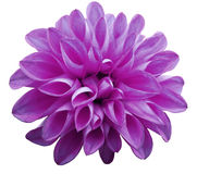 Flower  light pink  dahlia  isolated on white background is no shade. Stock Image