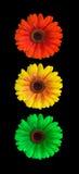 Flower light signal. Light signal of flowering gerberas Stock Photos