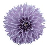 Flower light violet dahlia. White isolated background with clipping path.   Closeup.  no shadows.  For design. Nature Stock Photo