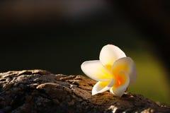 Flower in light. White flower in morning light Stock Photography