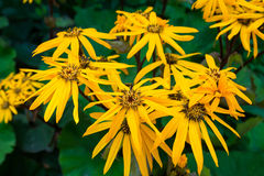 Flower Ligularia dentata orthello Royalty Free Stock Images