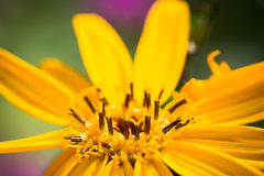 Flower Ligularia dentata orthello. Shallow depth of field Royalty Free Stock Images