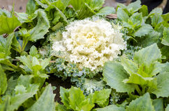 Ornamental kale cabbage Stock Photo
