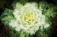 Ornamental kale cabbage Royalty Free Stock Photo
