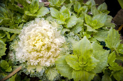 Ornamental kale cabbage Royalty Free Stock Photos