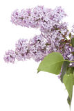 Flower  lilac Royalty Free Stock Image