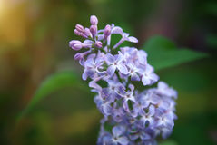 Flower of a lilac Royalty Free Stock Photo