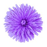 Flower lilac dandelion isolated on white background. Flower bud close up. Element of design.  stock photo