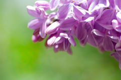 Flower of lilac Royalty Free Stock Photography