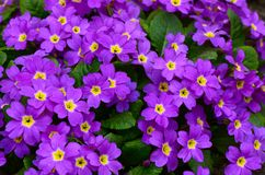 Flower lilac primrose a background Stock Photography