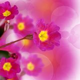 Flower lilac primrose a background Royalty Free Stock Photos