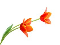 A flower of liliaceae tulip. Bouquet Stock Photography