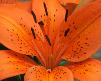 Flower - lillium orange. Orange lillium up close stock images