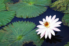 Flower and Lilly Pads, Oahu. A white and pink flower floats in calm blue waters, surrounded by green lilly pads on the Hawaiian Island of Oahu Stock Images