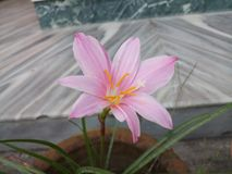 Flower Lilly Stock Image