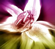 Flower Lily. Isolated, creative background, for designer Stock Photo