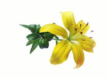 Flower lily Stock Images