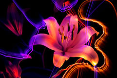 Flower a lily: aroma of night Royalty Free Stock Images