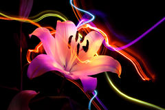 Flower a lily: aroma of night Stock Image