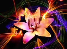 Flower a lily: aroma of night Stock Photos