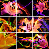 Flower a lily: aroma of night Royalty Free Stock Photo