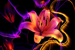 Flower a lily: aroma of night Royalty Free Stock Photos