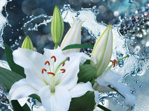 Flower lily on a background of water splash Royalty Free Stock Photo