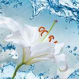 Flower lily on a background of water splash Royalty Free Stock Images
