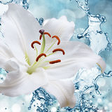Flower lily on a background of water splash Royalty Free Stock Photos