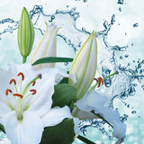 Flower lily on a background of water splash Stock Images