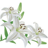 Flower lily isolated on white background. White lily flower bouquet realistic, isolated on white background Stock Photo