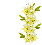Flower lily isolated on white background. Stock Photo
