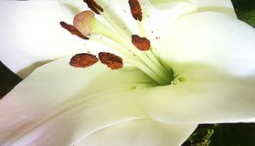Flower lily macro. Stock Photo