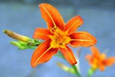 Flower, Lily, Orange, Flora Stock Photography