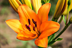 Flower Lily. Orange flower of the Lily, flower garden Royalty Free Stock Photography