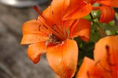 Flower, Lily, Orange Lily, Flora stock image