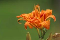 Flower, Lily, Orange Lily, Flora stock photo