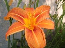 Flower, Lily, Orange Lily, Orange stock image