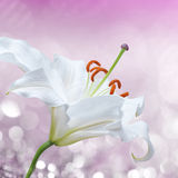 Flower lily on a pink background of water splash Royalty Free Stock Images
