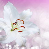 Flower lily on a pink background of water splash Stock Image