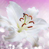 Flower lily on a pink background of water splash Stock Photos